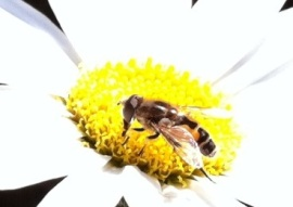 Bee on white flower