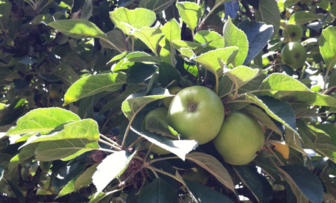 Content harvest: apples