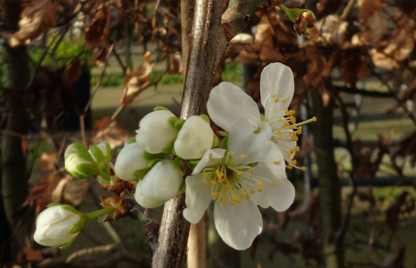 plum tree flowering