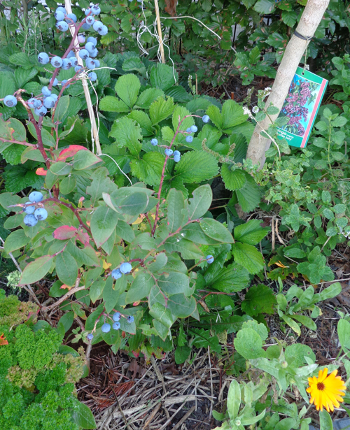 Blueberry with strawberry plants and parsley