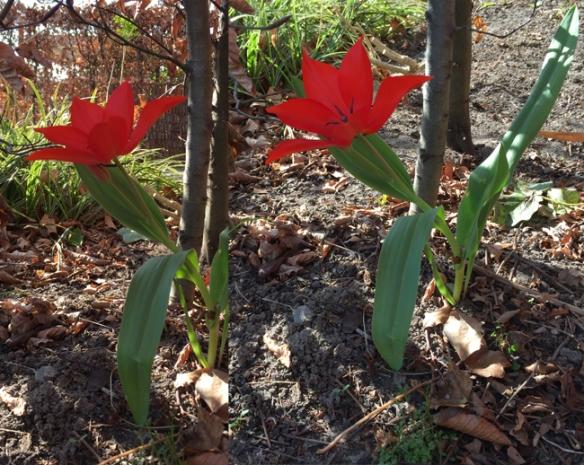 Tulip under the hedge - grown quite a bit!